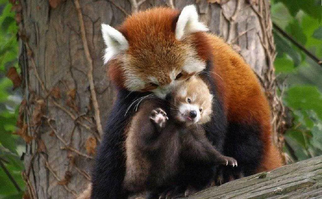 Малая панда с детенышем