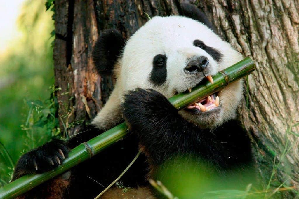 Как питается панда