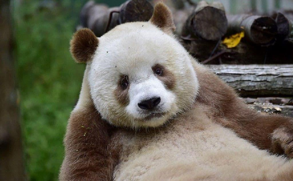 Бело-коричневая панда