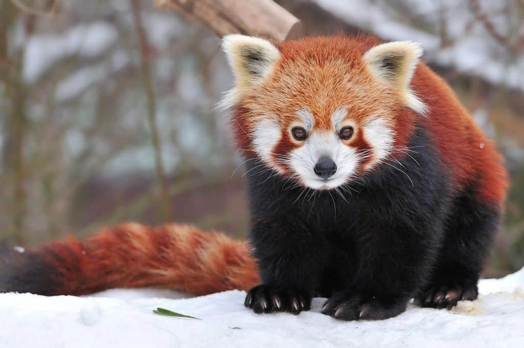 Лисица-медведь или Fire Fox