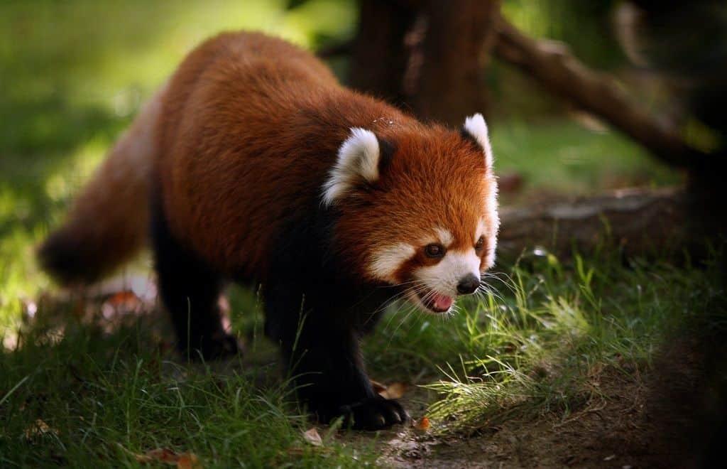Малая панда (семейство малопандовых)
