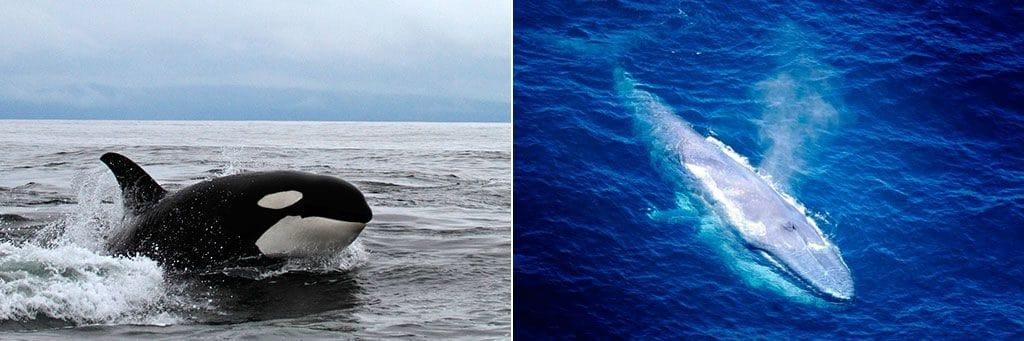 Косатка и синий кит