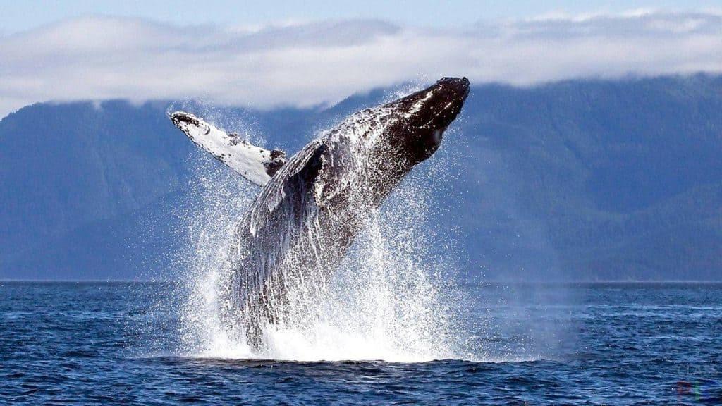 Синий кит прыгает