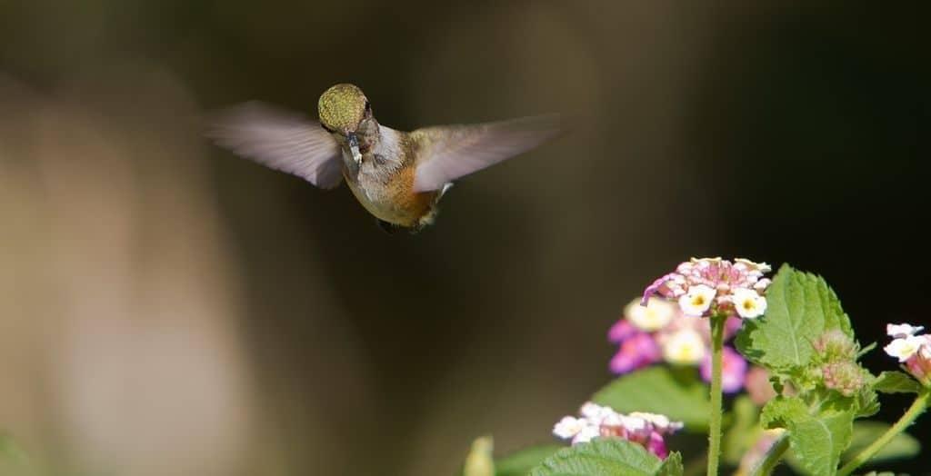 Как летают колибри