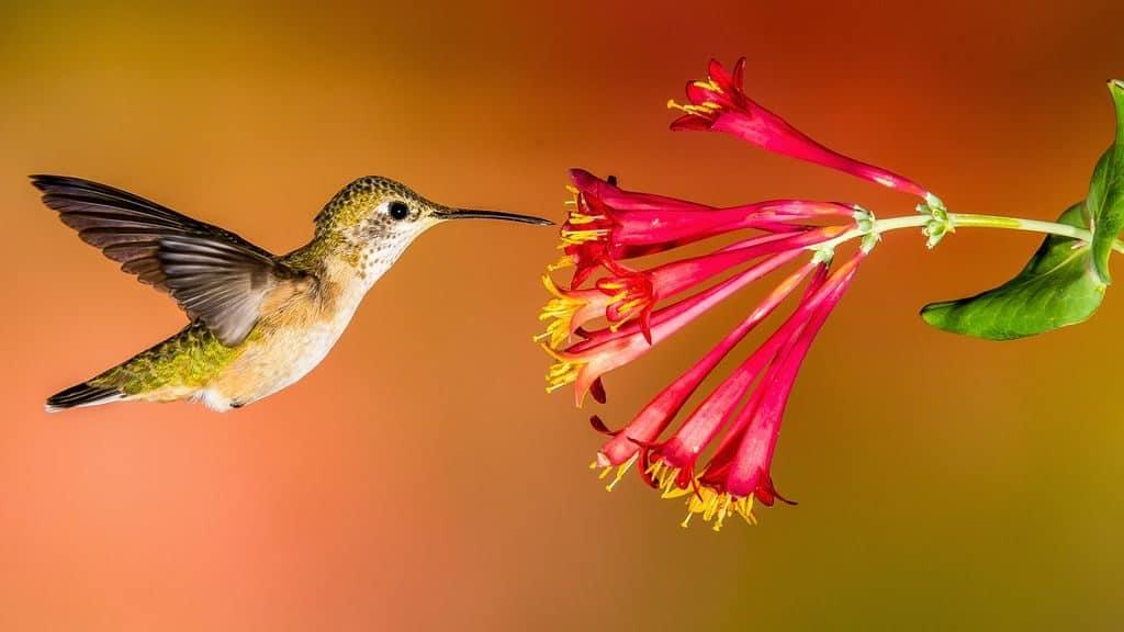 Самые интересные факты о колибри