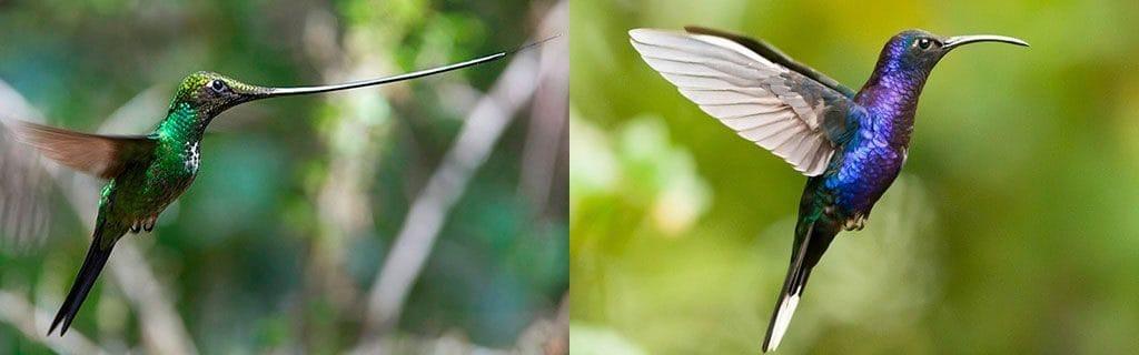 Клюв у колибри