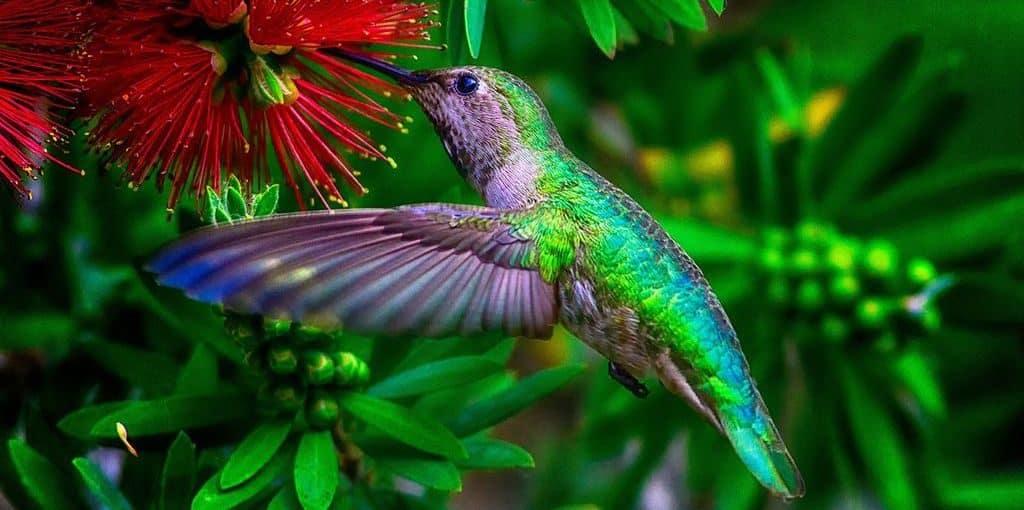 Колибри зеленой расцветки