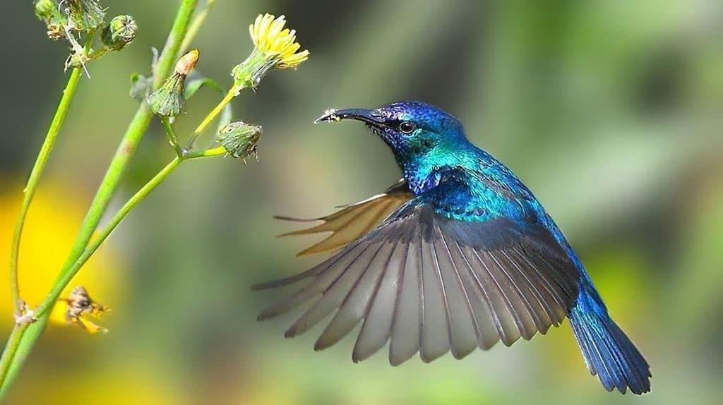 Колибри синей расцветки