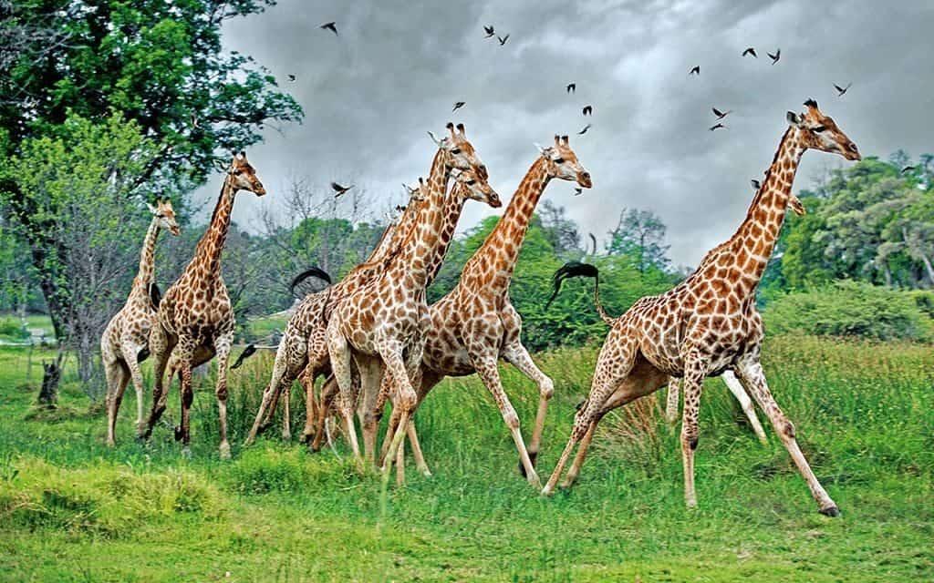 Бегущие жирафы