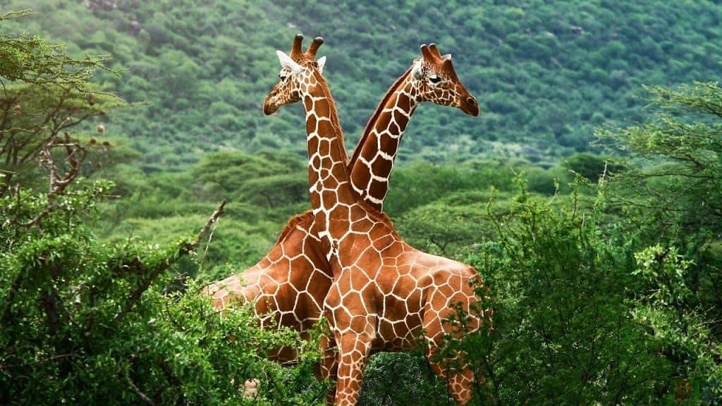 Уникальный окрас жирафа