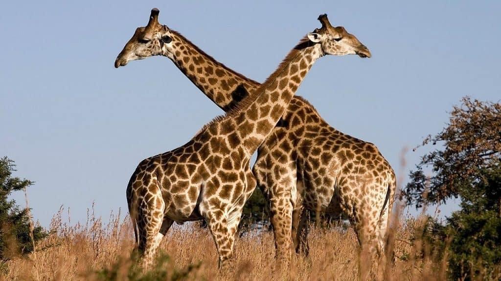 Жирафы - миролюбивые животные