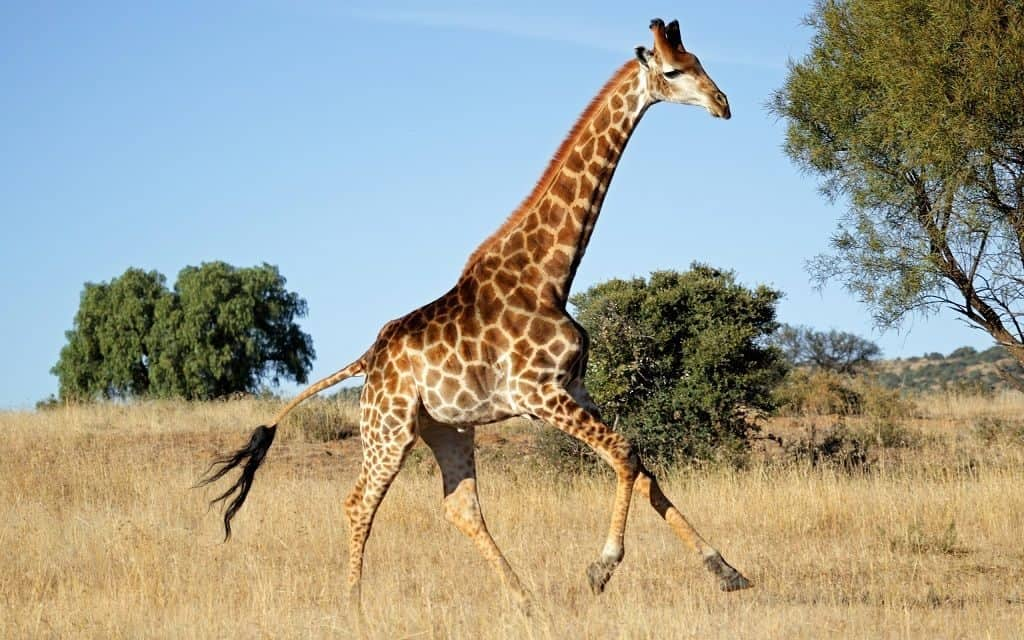 Широкий шаг жирафа