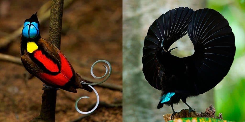 Синеголовая великолепная райская птица