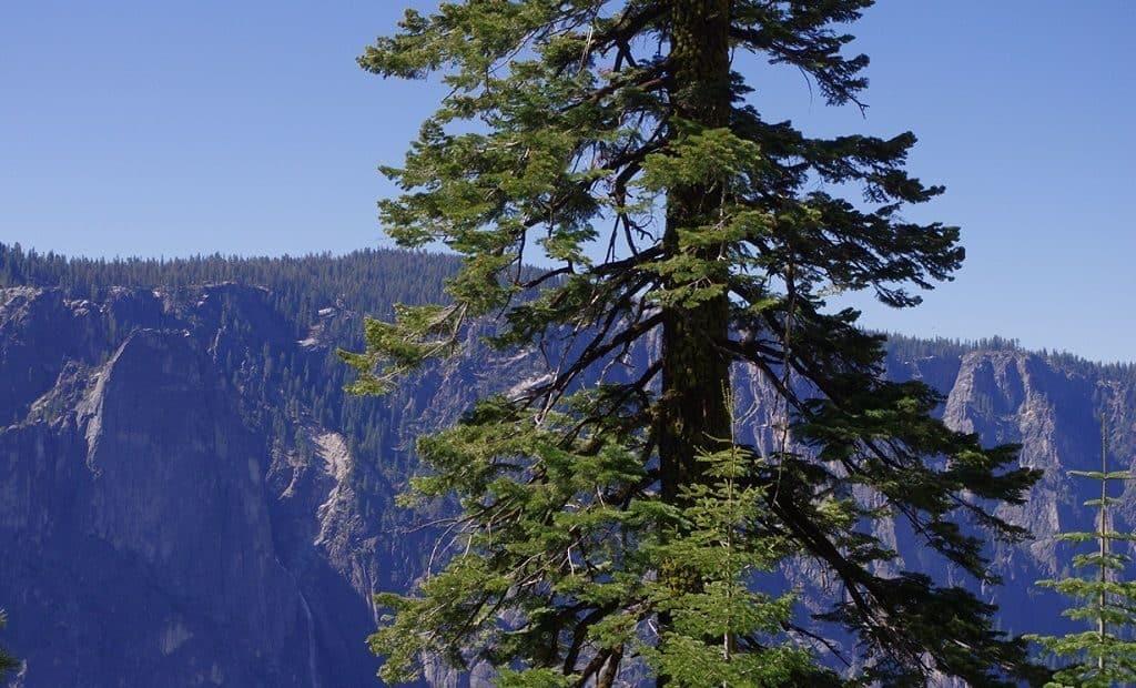 Какое дерево самое высокое