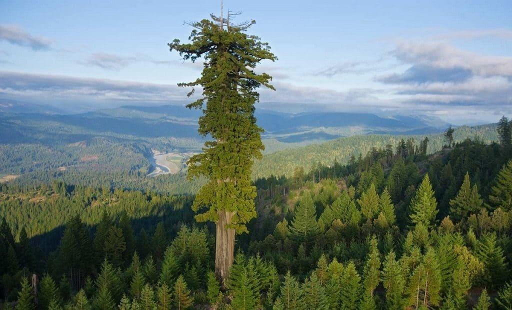 Дерево «Гиперион»