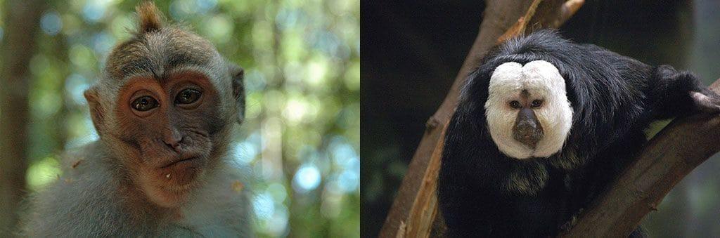 Самые популярные обезьяны