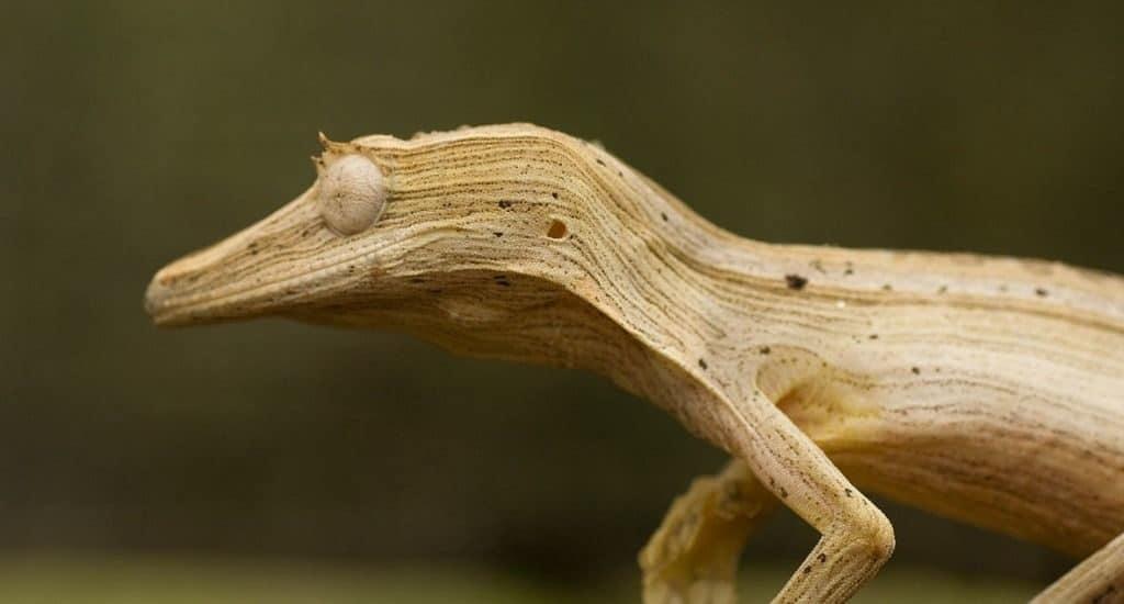 Линейчатый плоскохвостый геккон