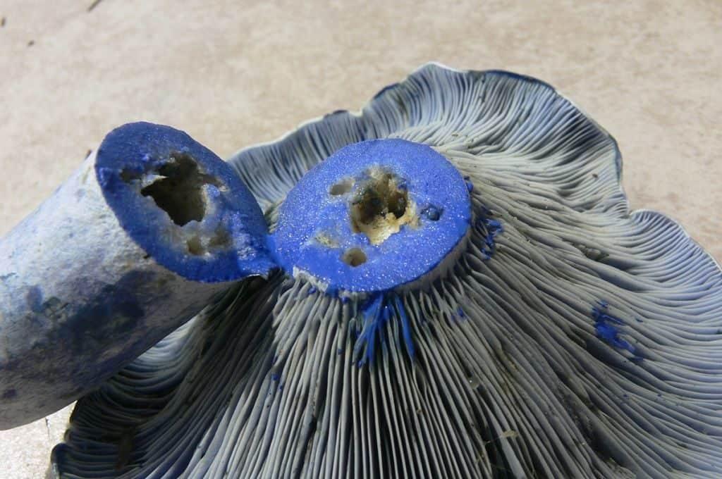 Млечник голубой