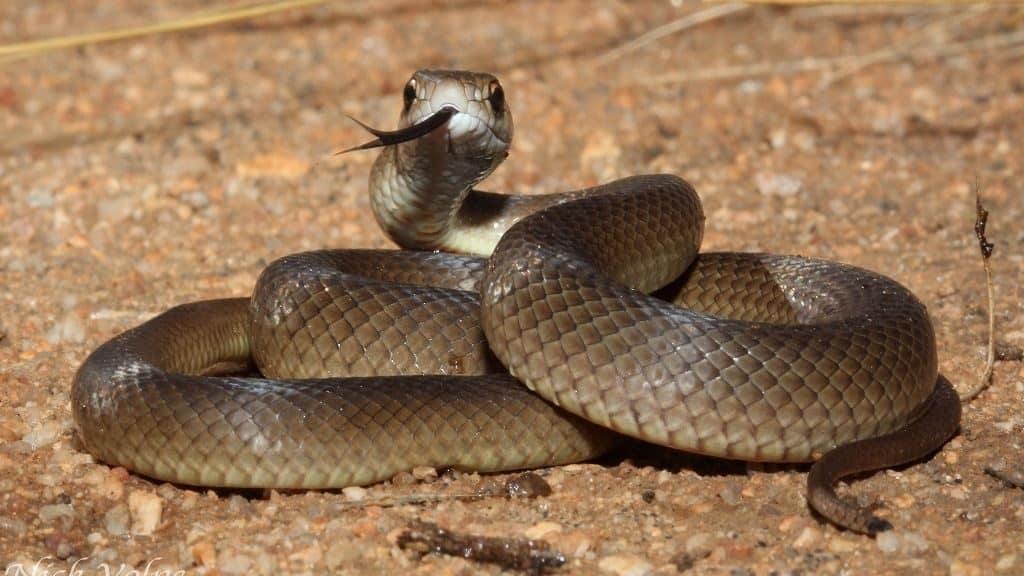 Восточная (сетчатая) коричневая змея