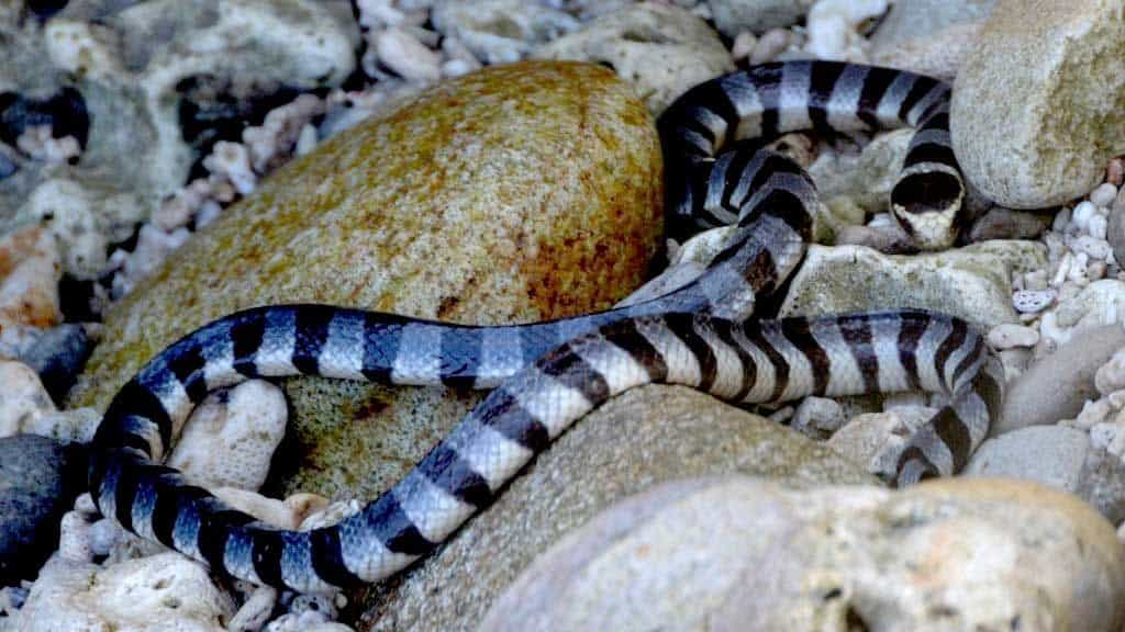 Морские ядовитые змеи