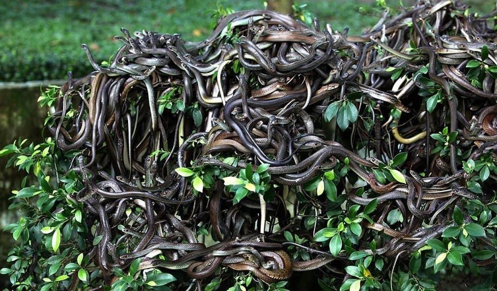 Змеиное кубло