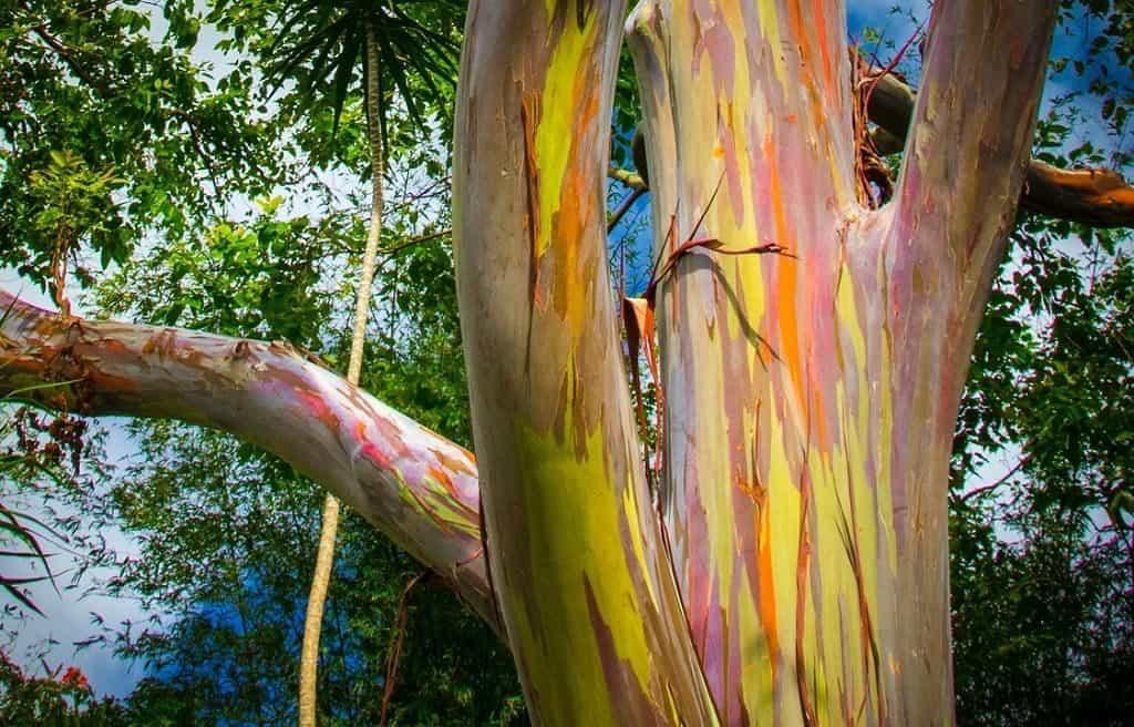 Радужное дерево