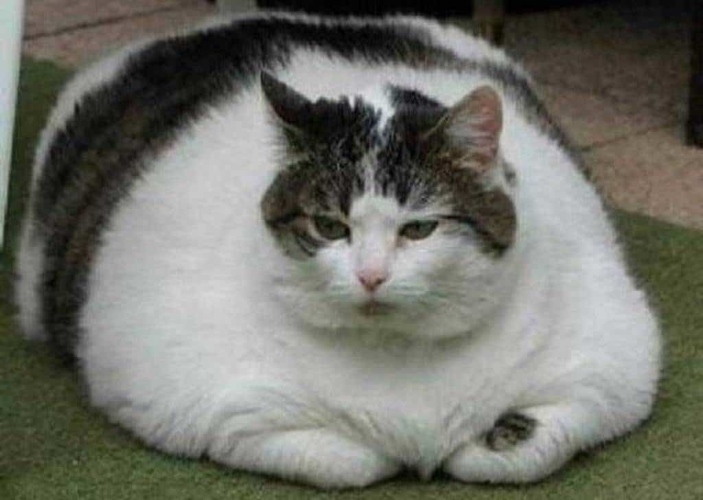 Толстый кот Химми