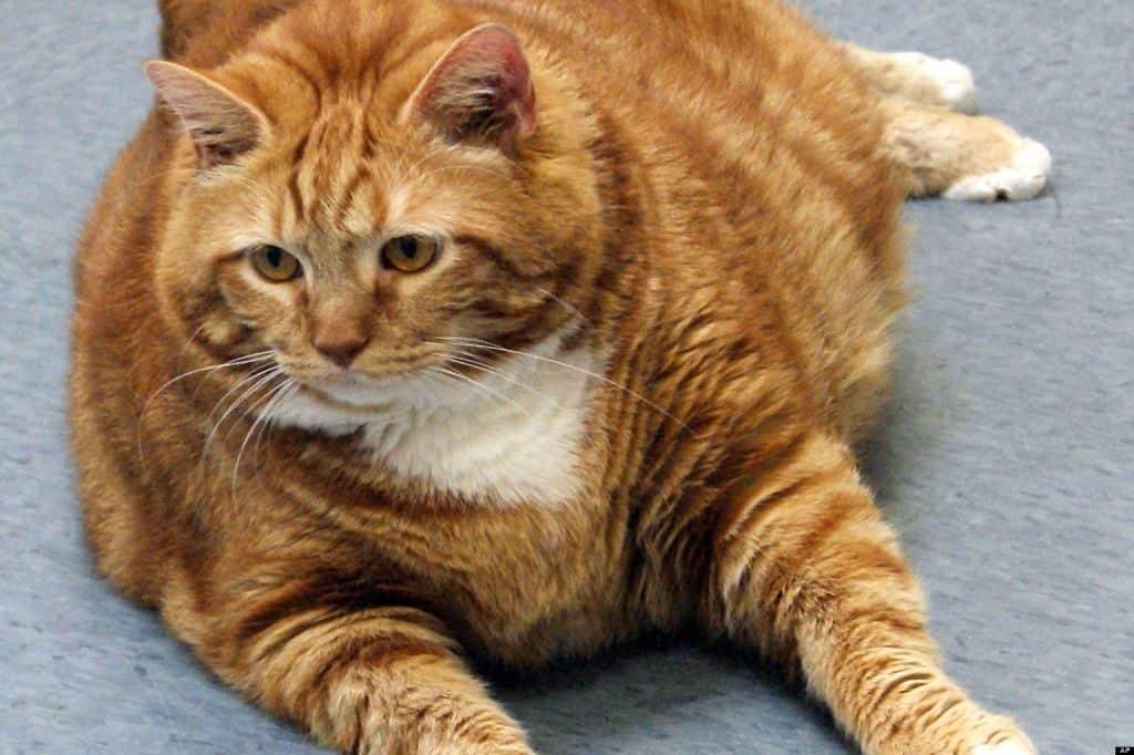 Датский кот Тулле