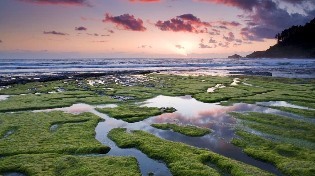 Саргассово море - водоросли