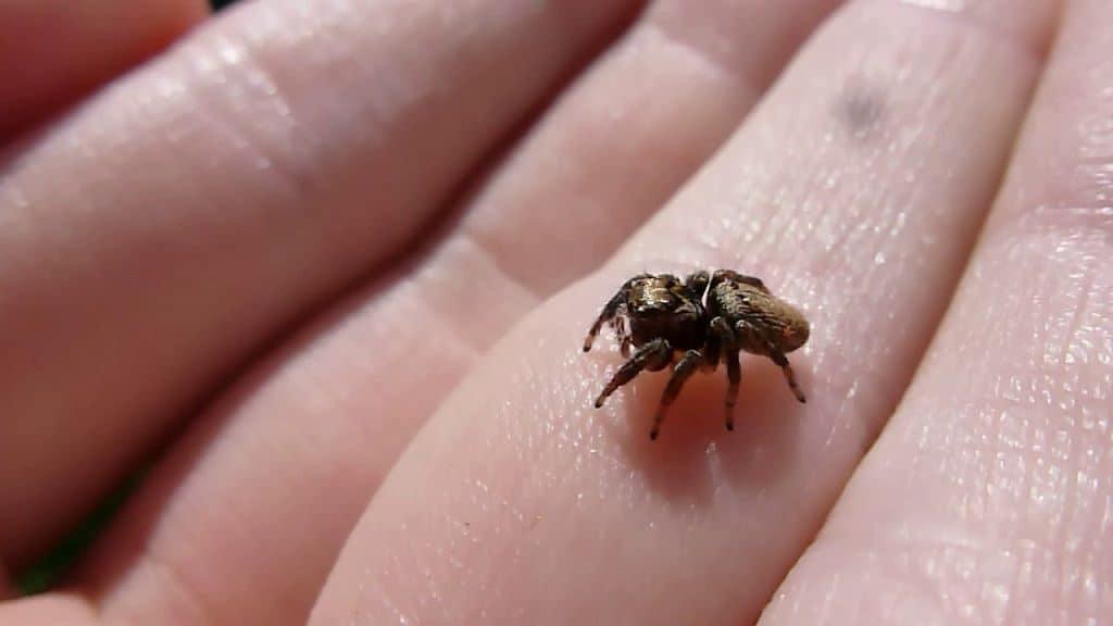 Паук муравьед