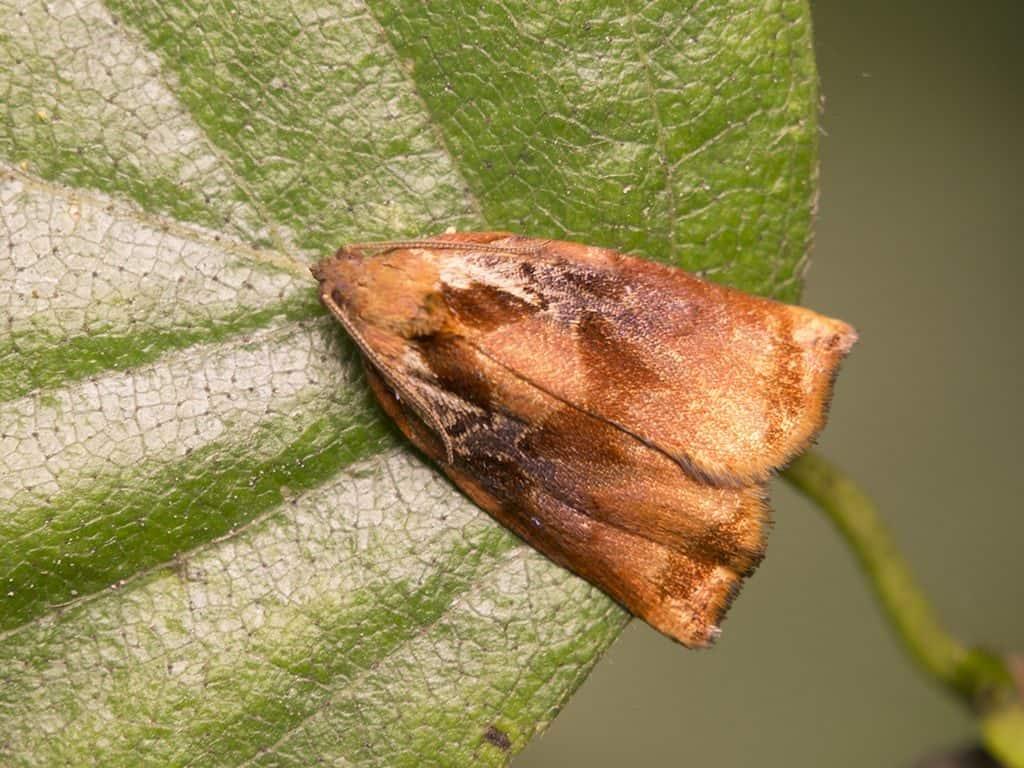 Бабочка листовертка