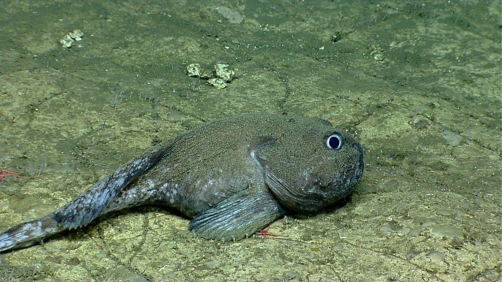Рыба – бассогигас
