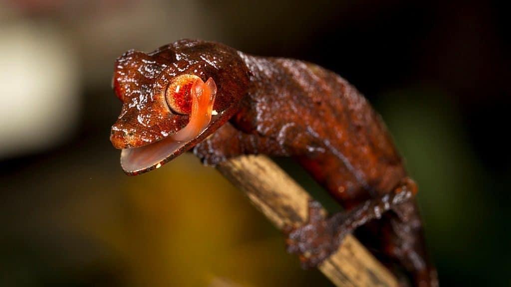 Сатанинский геккон