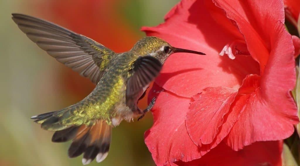 Чем питается колибри