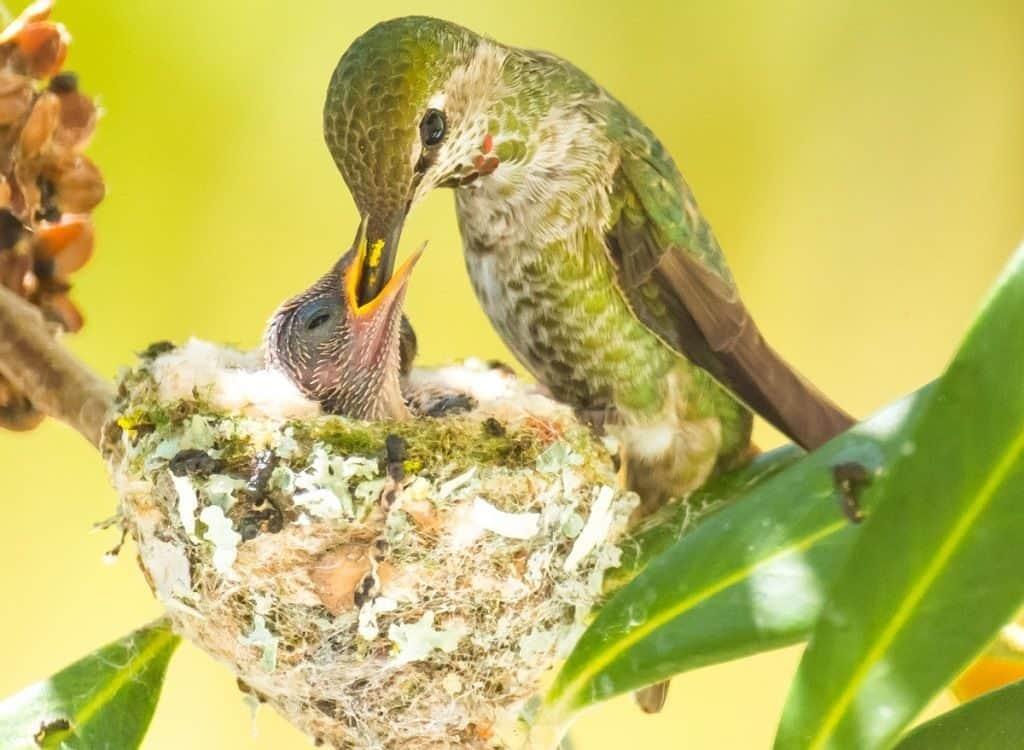 Гнездо колибри