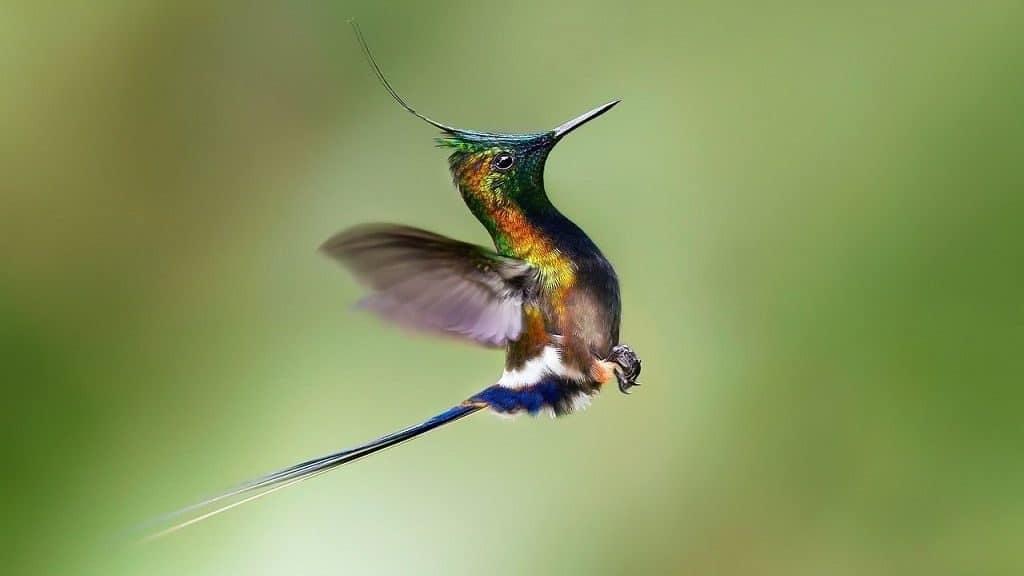 Колибри в полете