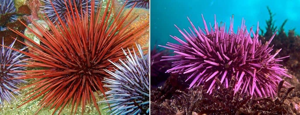 Расцветки морских ежей