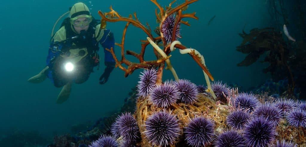 Морские ежи в море