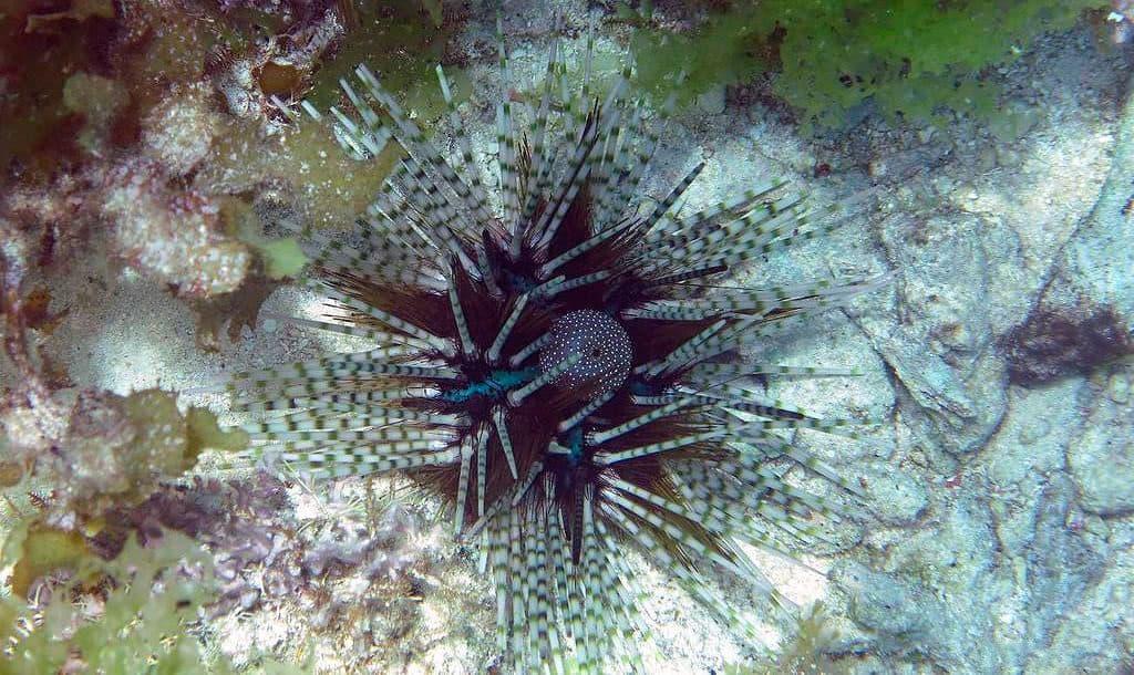 Полосатый морской еж