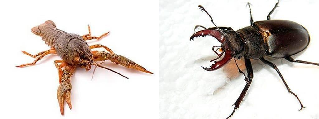 Рак и жук