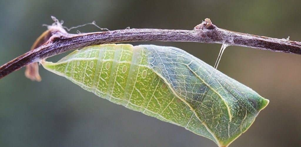 Куколка бабочки капустницы
