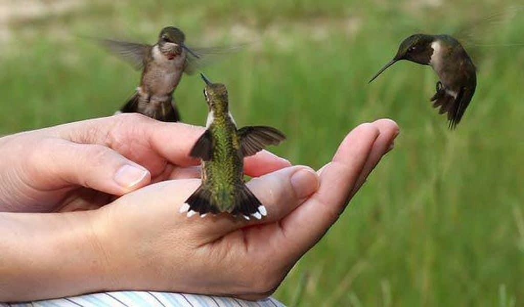 Где живет колибри