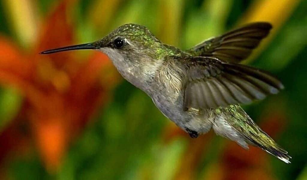 Яркое оперение колибри