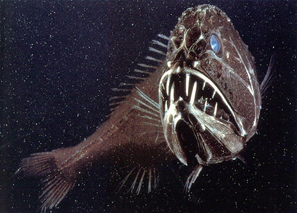 Длиннорогий саблезуб (Anoplogaster cornuta)