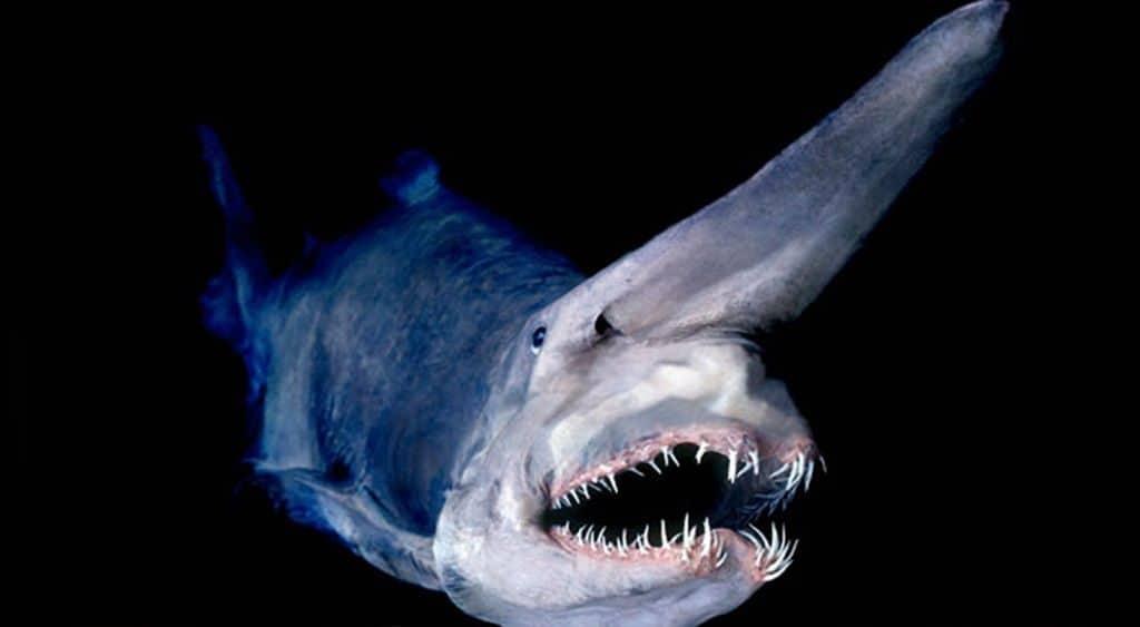 Акула-домовой (Mitsukurina owstoni)