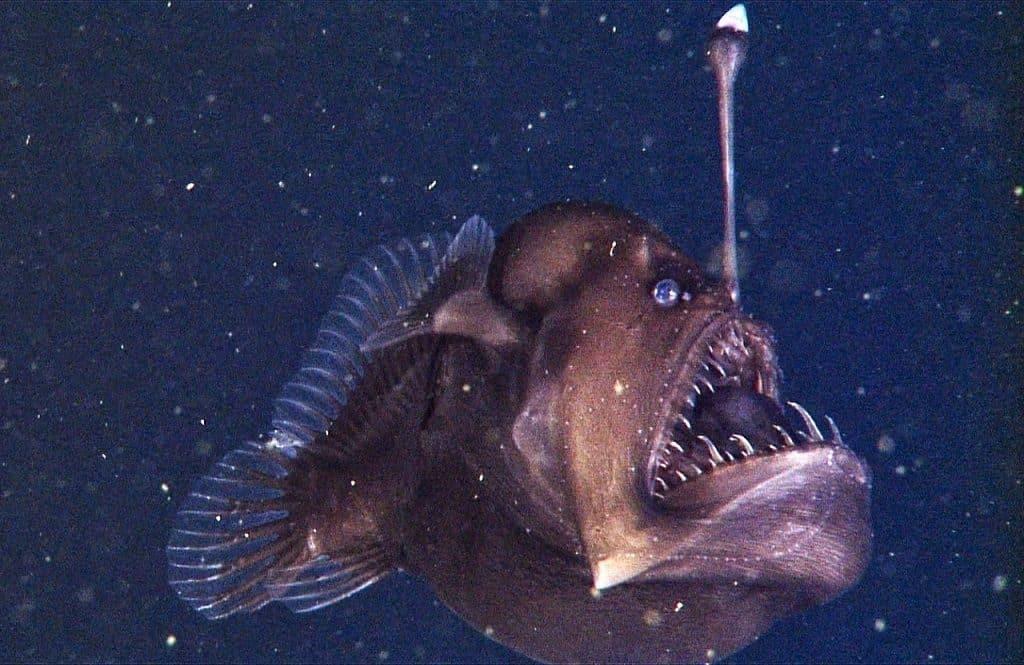 Глубоководный (европейский) удильщик (Lophius piscatorius)
