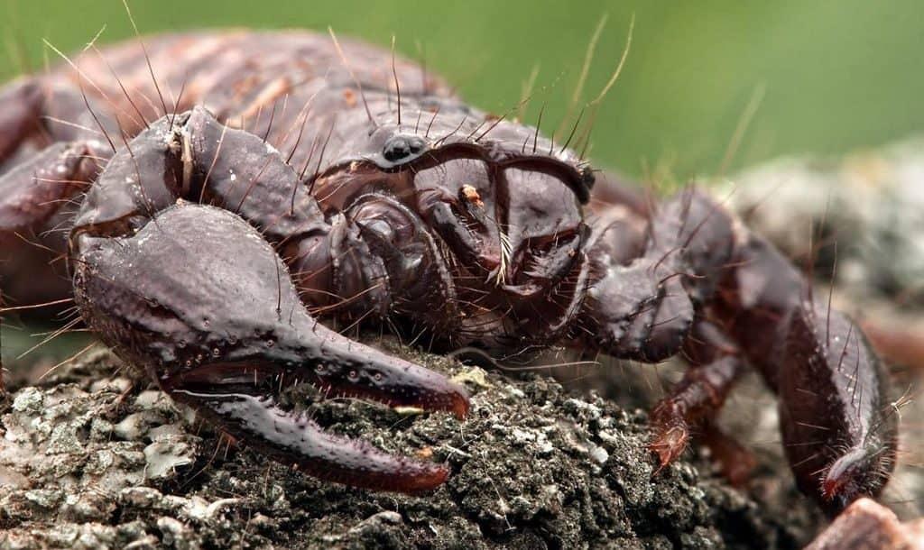 Ядовитые скорпионы