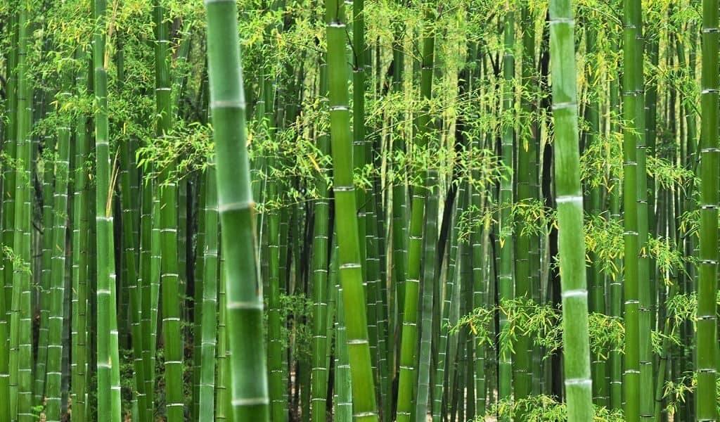 Бамбук семейства злаковых
