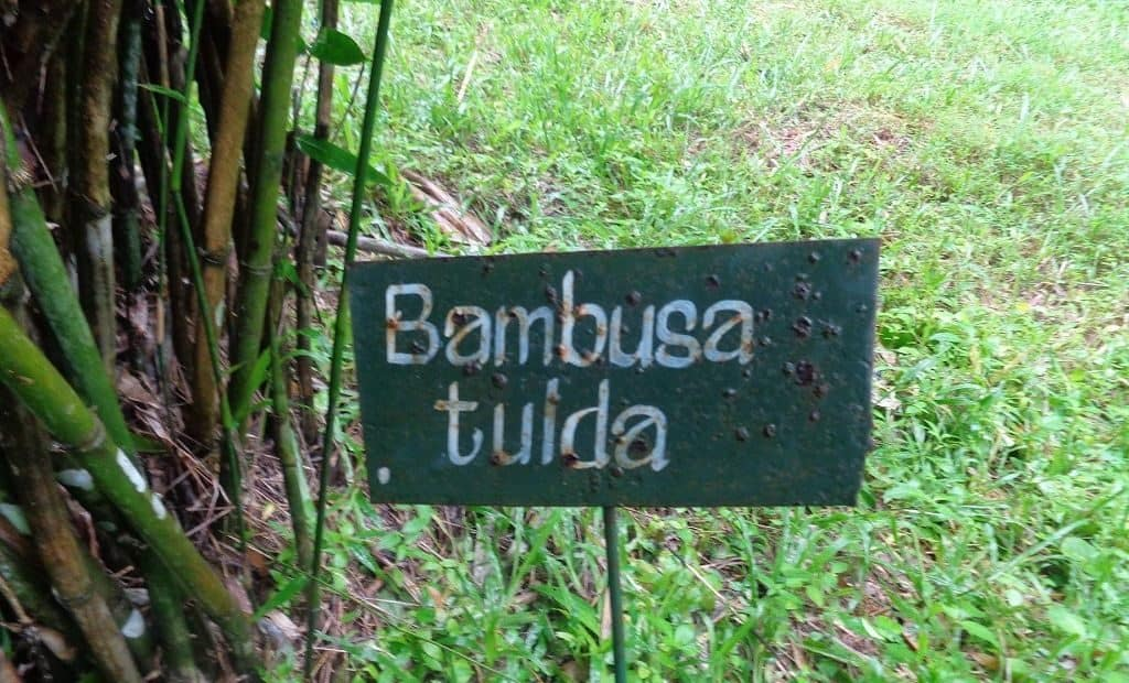Bambusa tulda на полуострове Индокитай