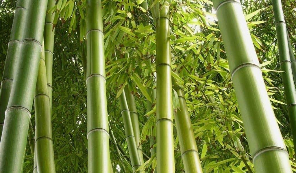 Бамбуковые рощи в Австралии